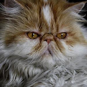 Origen gato persa peke persas extremos face