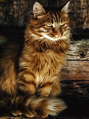 Orígenes del gato persa Tabby Brown