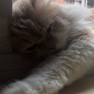 Higiene del gato persa
