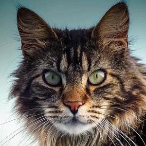 gato main coon atigrado