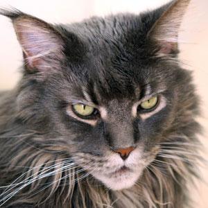 gato Main Coon color sólido