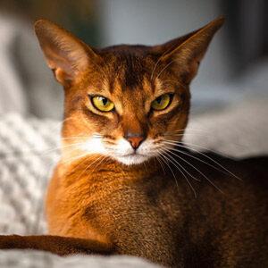Gato abisinio plano frontal