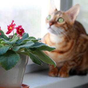 gato Bengalí de ojos verdes