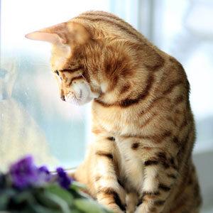 gato Bengalí mirando a través de cristal