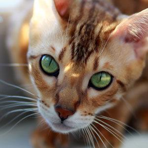 cara de gato Bengalí
