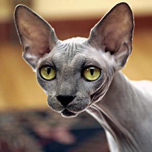 Gato Sphinx azul de ojos verdes
