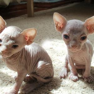 Gato Sphinx pareja de cachorros