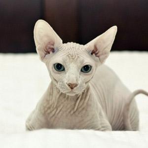 Gato Sphinx blanco sin bigotes