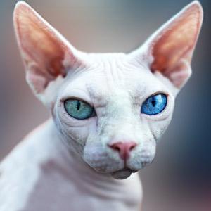 Gato Sphinx blanco ojos azules y verdes