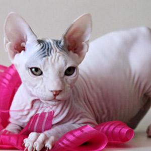 Gato Sphinx blanco con manchas en la frente