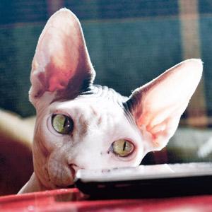 Gato Sphinx ojos verdes