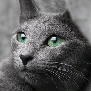 gato Azul Ruso plano detalle cara