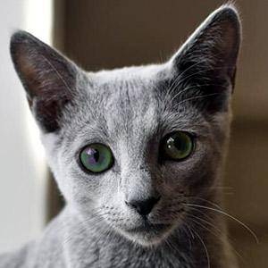 gato Azul Ruso ojos verdes