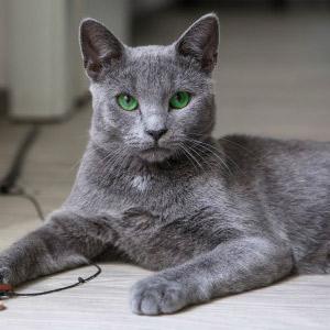 gato Azul Ruso acostado