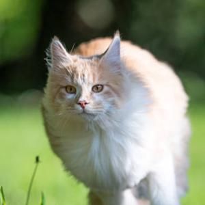 gato maine coon corriendo por el campo