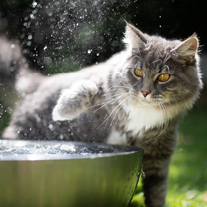 maine coon jugando con el agua