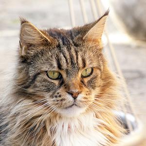 gato maine coon con mirada fija al frente