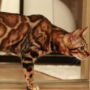 la raza de gato bengala marcando con su olor