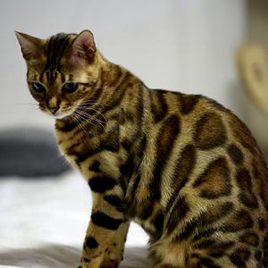la raza de gato bengala mirando hacia el suelo