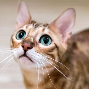 la raza de gato bengala mirando hacia arriba