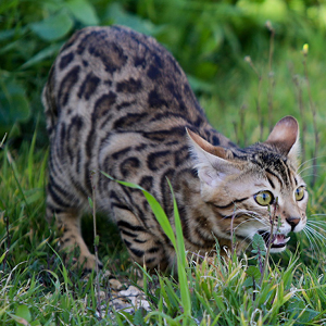 la raza de gato bengala en posición de ataque