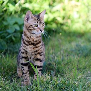 gato bengala en un bosque