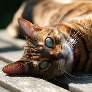 la raza de gato bengala acostado sobre madera