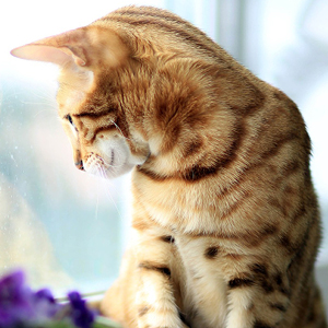 la raza de gato bengala mirando por la ventana
