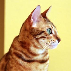 la raza de gato bengala perfil