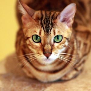 la raza de gato bengala mirando al frente