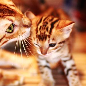 la raza de gato bengala