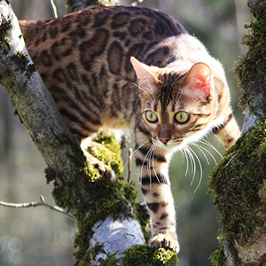 la raza de gato bengala escalando a un árbol