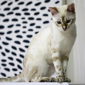 la raza de gato bengala de patrón claro