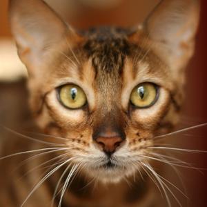 la raza de gato bengala cara sorpresa
