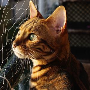 la raza de gato bengala retrato
