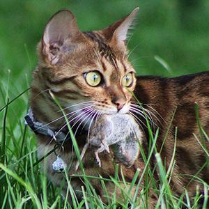 la raza de gato bengala cazando