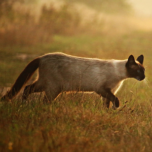 la raza de gato siames en el campo