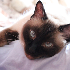 la raza de gato siames descansando