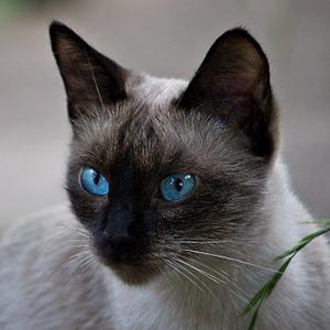 la raza de gato siames adulto