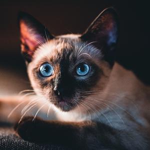 la raza de gato siames cara adulto