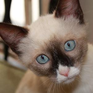 la raza de gato siames mirada fija