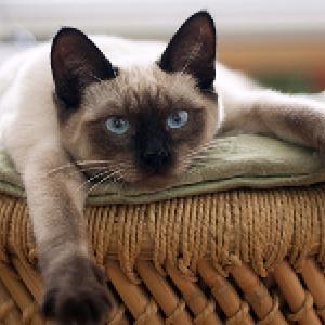 la raza de gato siames abierto de patas